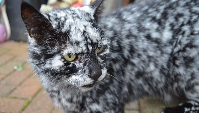 The Cat with Vitiligo